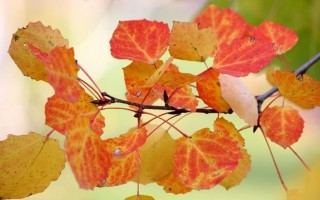 Тополя осенью — белые и серебристые, особенности ухода