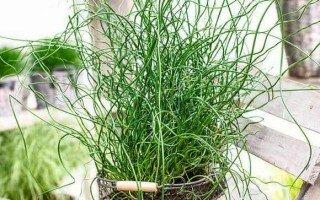 Уход в домашних условиях за растением Джункус